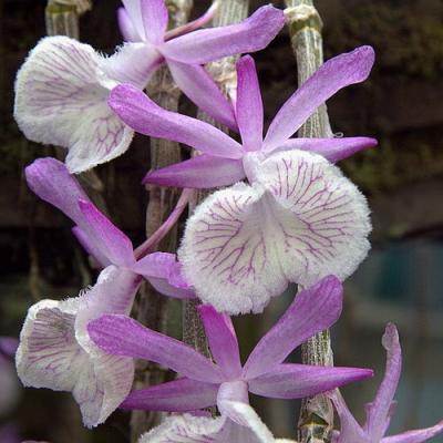 Orchid Dendrobium polyanthum