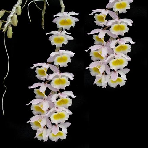 Dendrobium primulinum 3