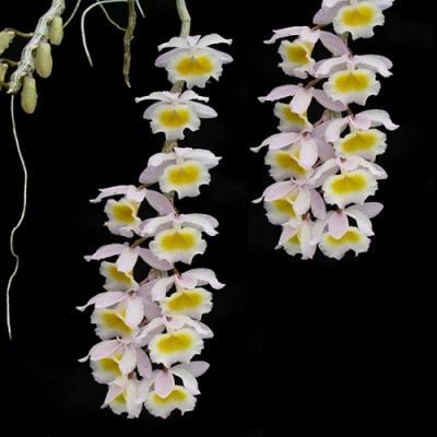 Orchidée Dendrobium primulinum
