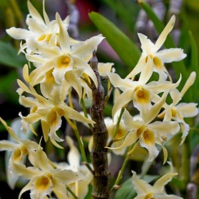 Orchidée Dendrobium rhombeum