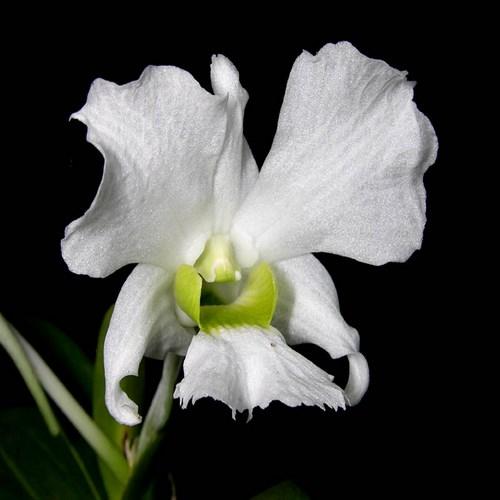 Dendrobium sanderae var luzonica