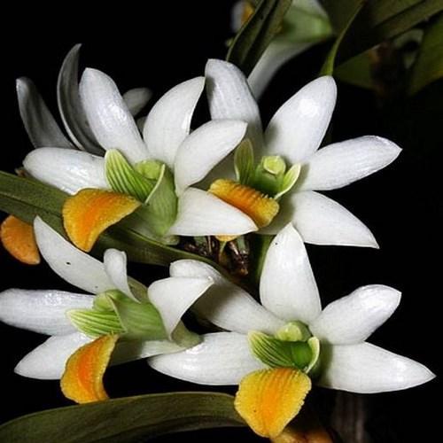 Orquídea Dendrobium scabrilingue