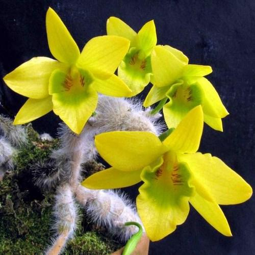 Orquídea Dendrobium senile