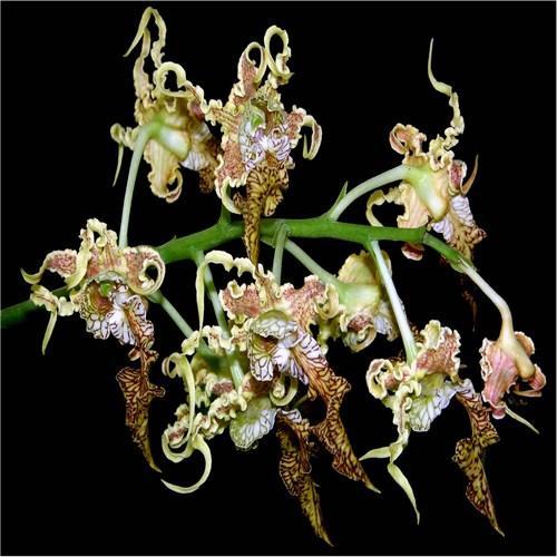 Orchidee Dendrobium spectabilis