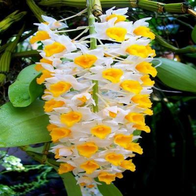 Orchidée Dendrobium thyrsiflorum