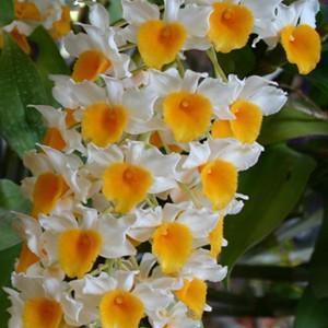 Orchidea Dendrobium thyrsiflorum