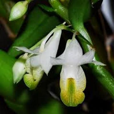 Dendrobium trinervium orchidee plante