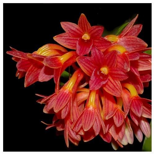 Orquídea Dendrobium usitae