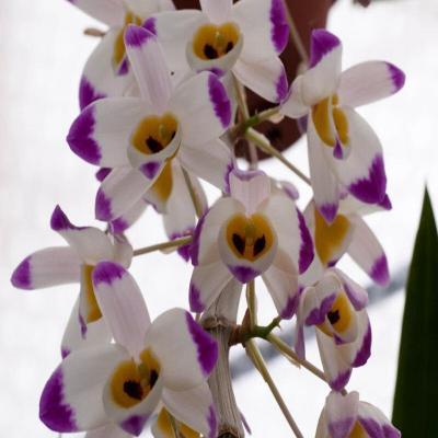 Orchidée Dendrobium wardianum