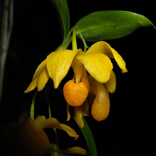 Dendrobiumchrysocrepis orchidee vente jardin fleur plante
