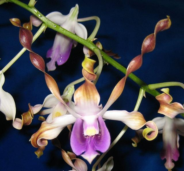 Dendrobiumlasianthera orchid