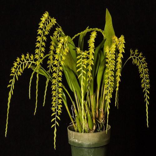 Orquídea Dendrochillum formosanum