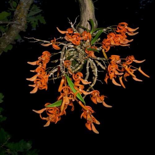Orchidee Dendroibum unicum