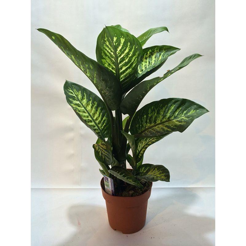 Dieffenbachia hybride a vendre