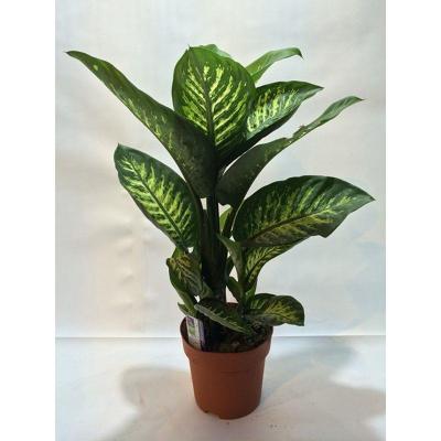 Dieffenbachia hybride