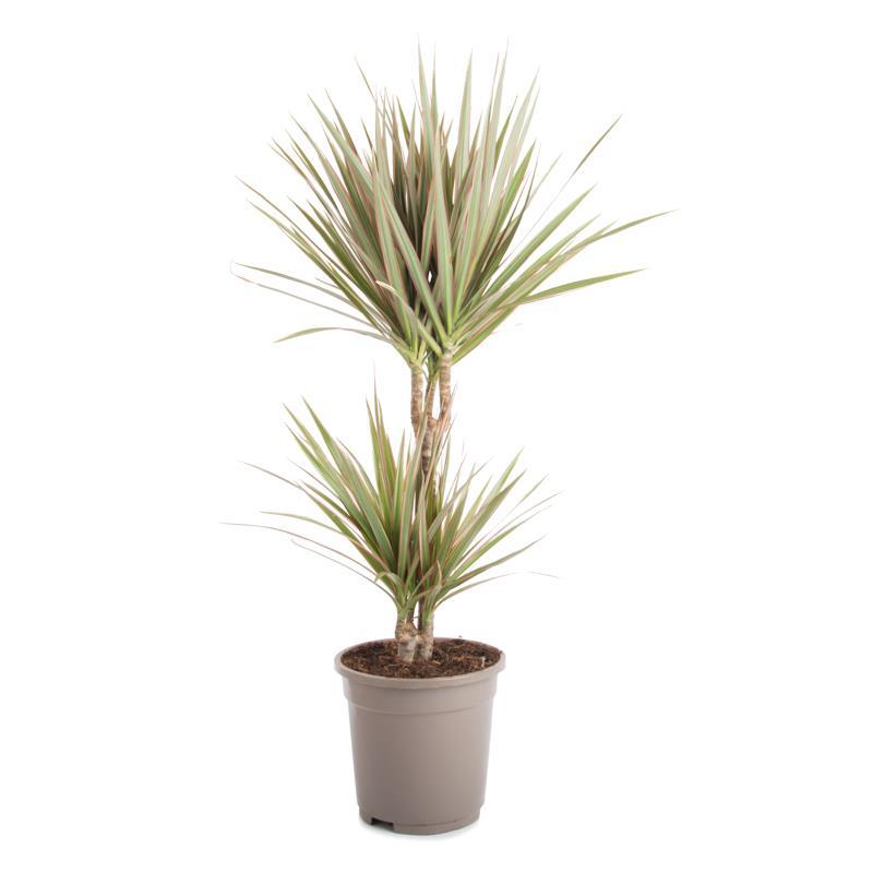 Dracaena marginata bicolor a vendre