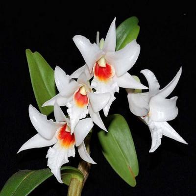 Orchidée Dendrobium draconis