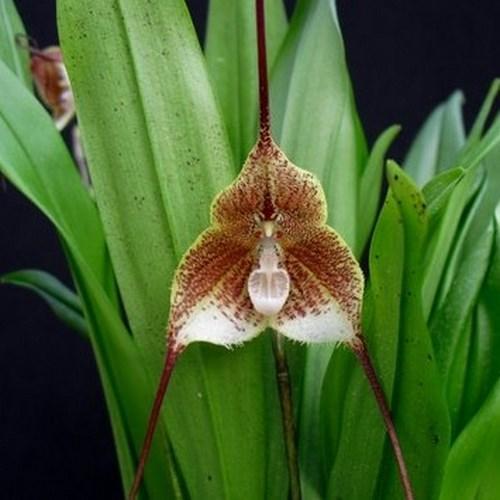 Orchidee Dracula erythrochaete