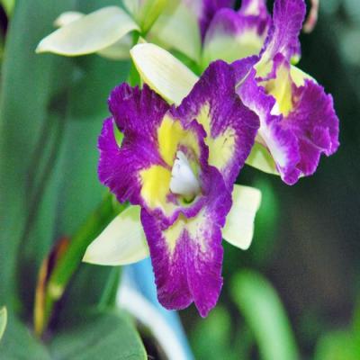 Orquídea Cattleya hybride purple