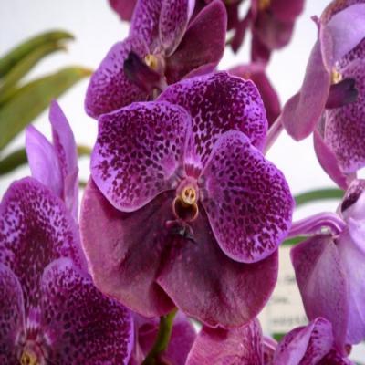 Orchidée Vanda Cha Deva