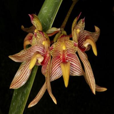 Orchidée Bulbophyllum bicolor
