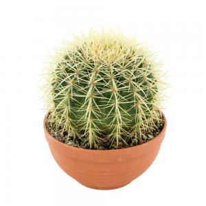 Echinocactus grusonii 1