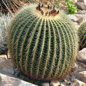 Echinocactus grusonii cactus a vendre
