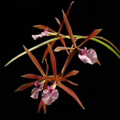 Orchidea Encyclia bractescens