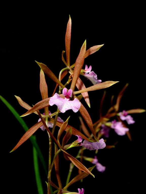 Orchidea Encyclia bractescens