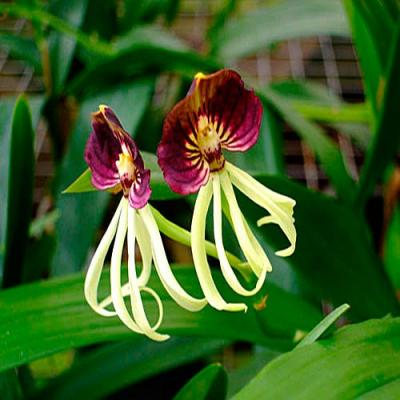 Orchid Encyclia cochleata