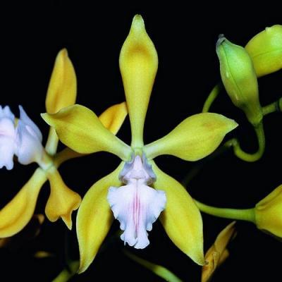 Orchidea Encyclia plicata alba