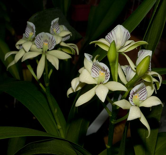 Orchidea Encyclia radiata
