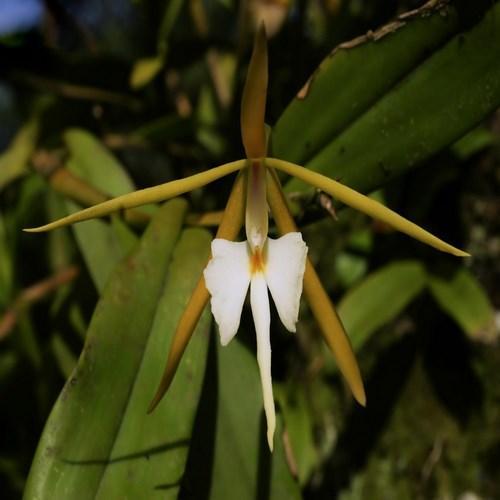 Orquídea Epidendrum nocturnum
