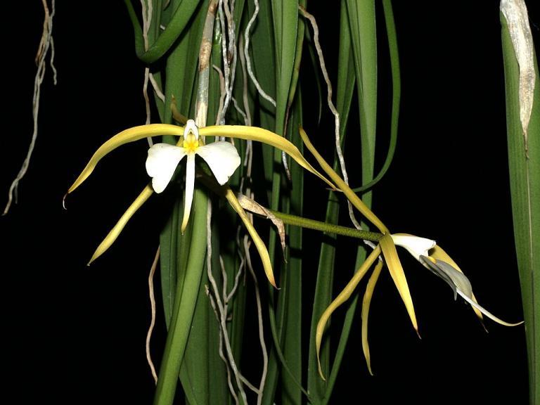 Orchidea Epidendrum parkinsonianum