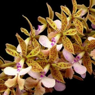 Orchid Epidendrum stamfordianum
