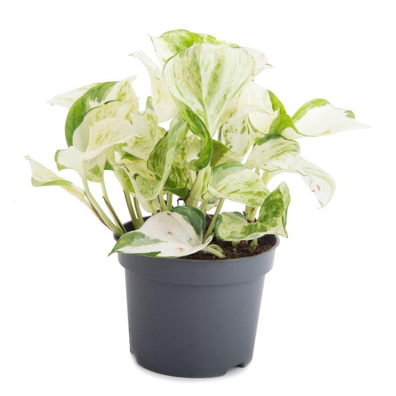 Epipremnum aureum potho mini plante a vendre