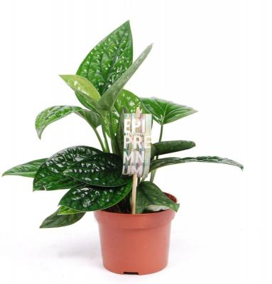 Epipremnum pinnatum MARBLE PLANET