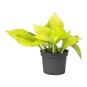 Epipremnum pinnatum 'Neon'