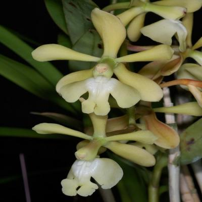 Orchid Epidendrum coronatum