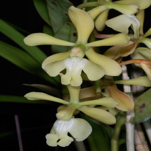 Orchidea Epidendrum coronatum