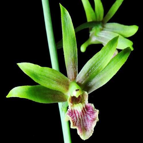 Orchidea Eulophia John Davison