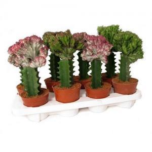 Euphorbia lactea buy vente cactus plante