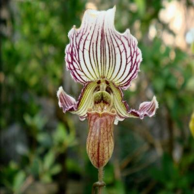 Orquídea Paphiopedilum fairrieanum