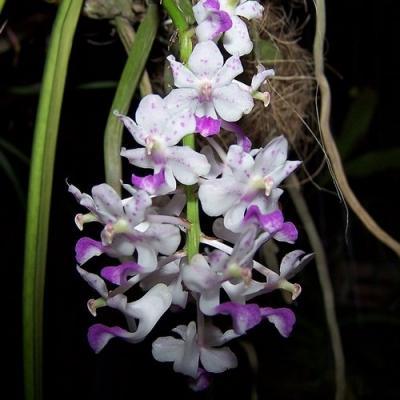 Orquídea Aerides falcata