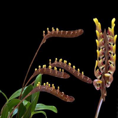 Orchid Bulbophyllum falcatum