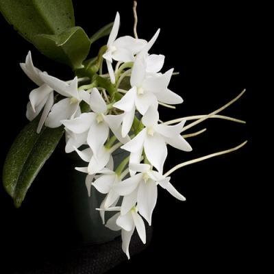 Orquídea Aerangis fastuosa