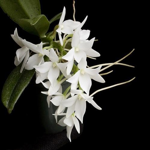 Orchid Aerangis fastuosa