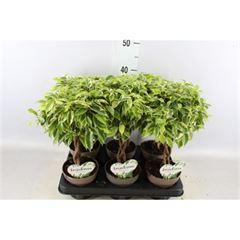 Ficus benja. 'Bushy King' tressé (12cm)
