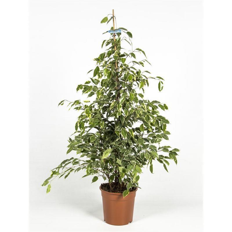 Ficus benjamina 140cm a vendre