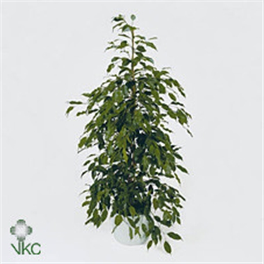 Ficus benjamina a vendre